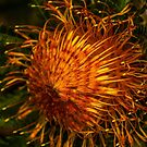 Dryandra formosa. by Bette Devine