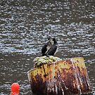 Cormorant in Whitby Harbour by dougie1