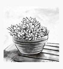 Potted succulent  Photographic Print