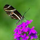Zebra Longwing on Purple by Lisa Putman