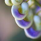 The Corkscrew Flower by Joy Watson