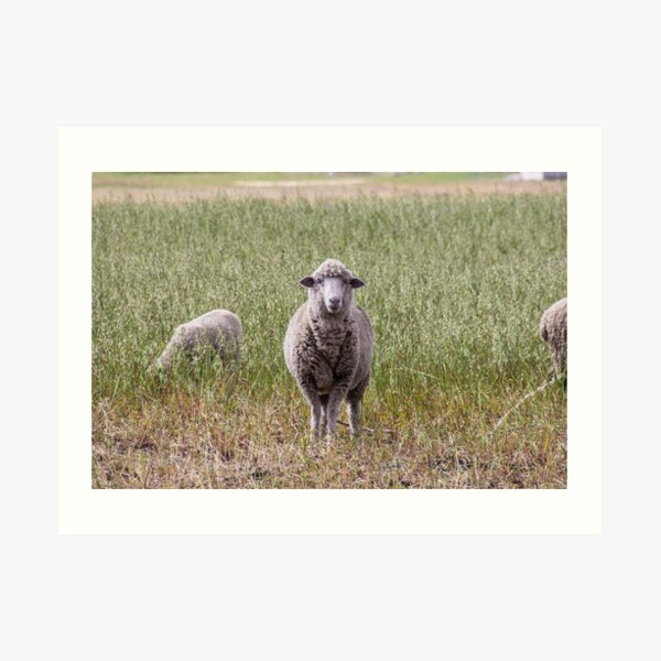 Sheep in rural field and meadow looking directly at camera Art Print