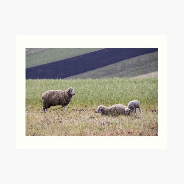 Family of three sheep lambs grazing in Ecuador rural farm meadow Art Print