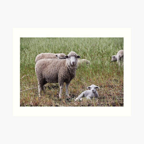 Sheep with baby lamb facing camera in farm field, Ecuador Art Print