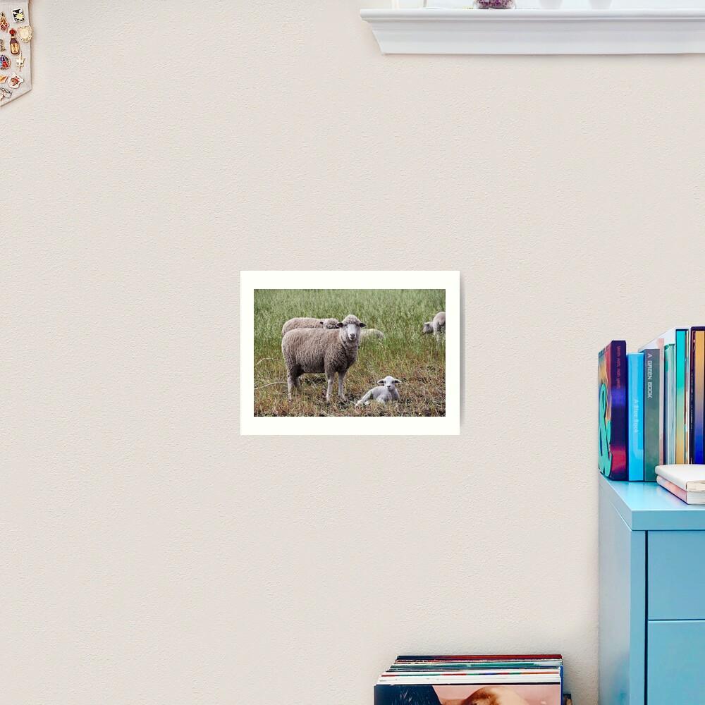 Sheep with baby lamb facing camera in farm field, Ecuador Art Print