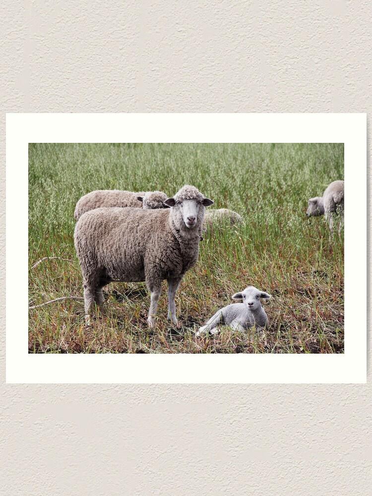 Alternate view of Sheep with baby lamb facing camera in farm field, Ecuador Art Print