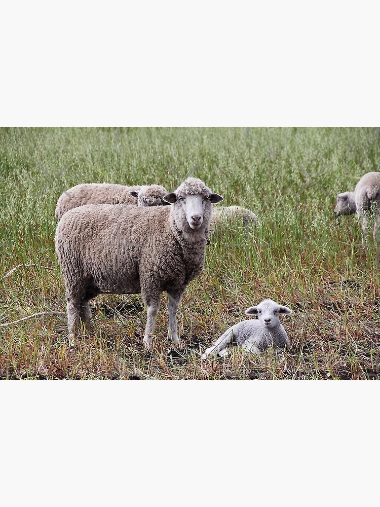 Sheep with baby lamb facing camera in farm field, Ecuador by kpander