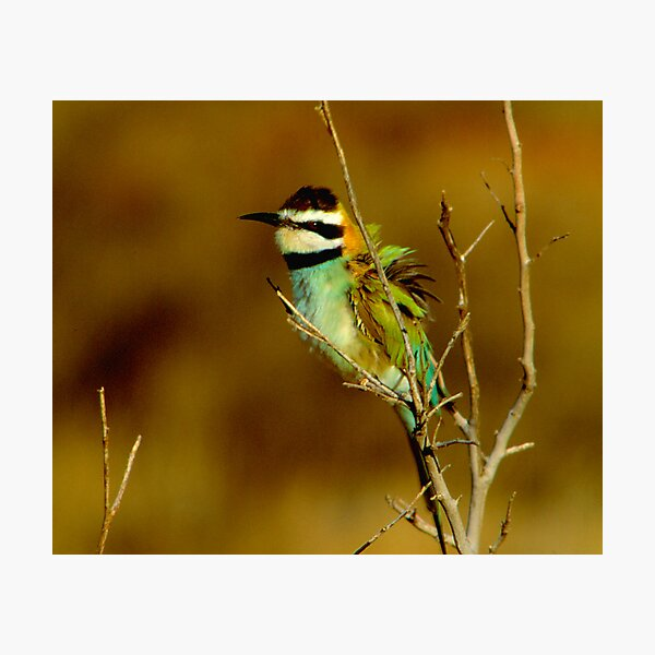 White-throated Bee-Eater Photographic Print