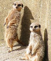 Compare the Meerkat.com by Rob Parsons (AKA Just a Walker with a Camera)