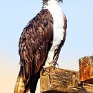 Osprey  by Yool