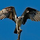 OREGON WILD BIRDS...THE MIGHTY OSPREY by RoseMarie747