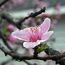 dewy pink by budrfli