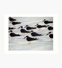 Black skimmers  Art Print