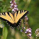 Eastern Tiger Swallowtail by Lisa Putman