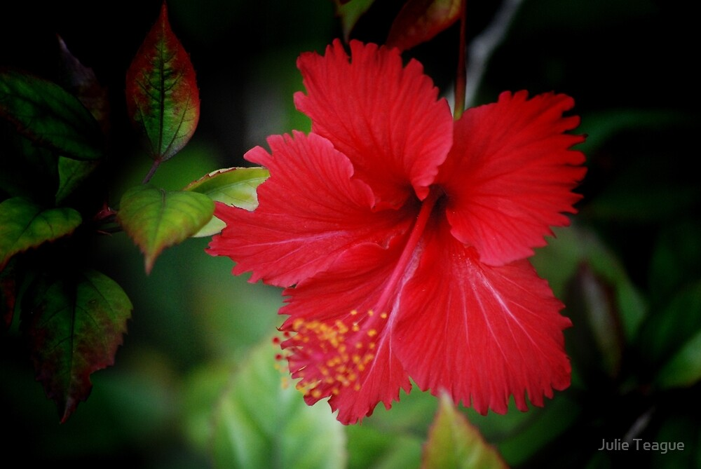 Red Hibiscus by Julie Teague