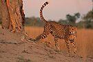 Feline beauty by Explorations Africa Dan MacKenzie