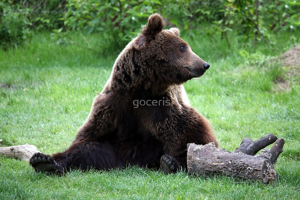brown bear sitting on grass by goceris