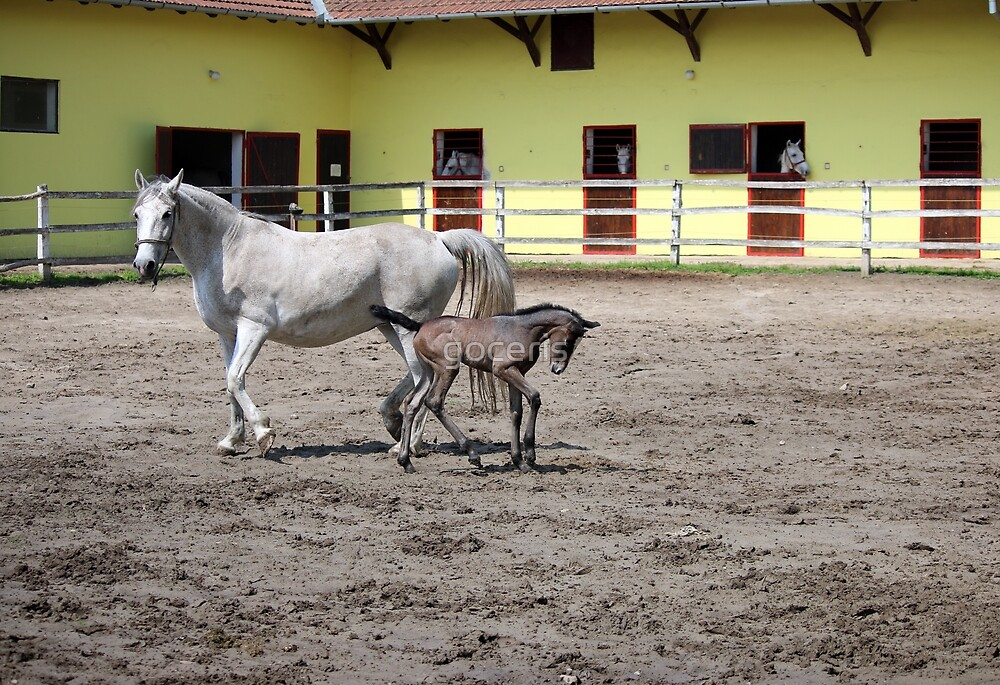 Lipizzaner horses and foal on farm by goceris