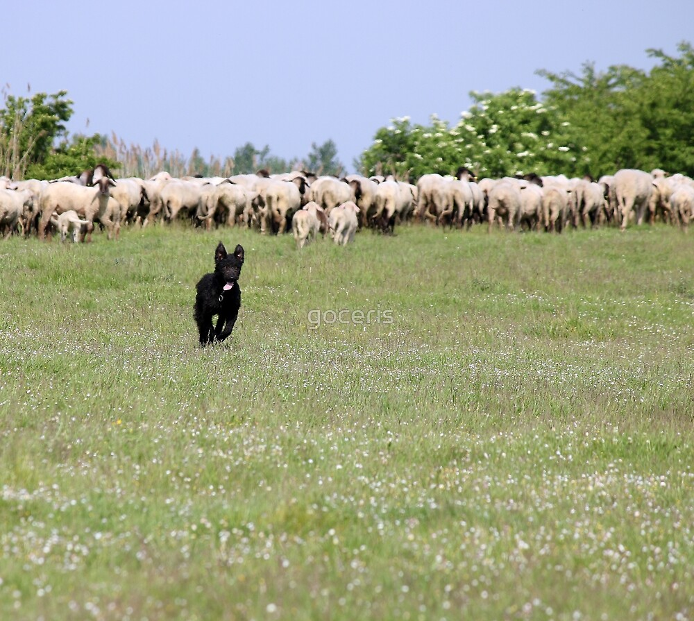 happy sheepdog running on field by goceris