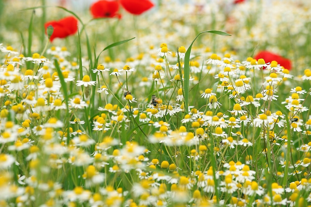 bee on chamomile flower nature background by goceris