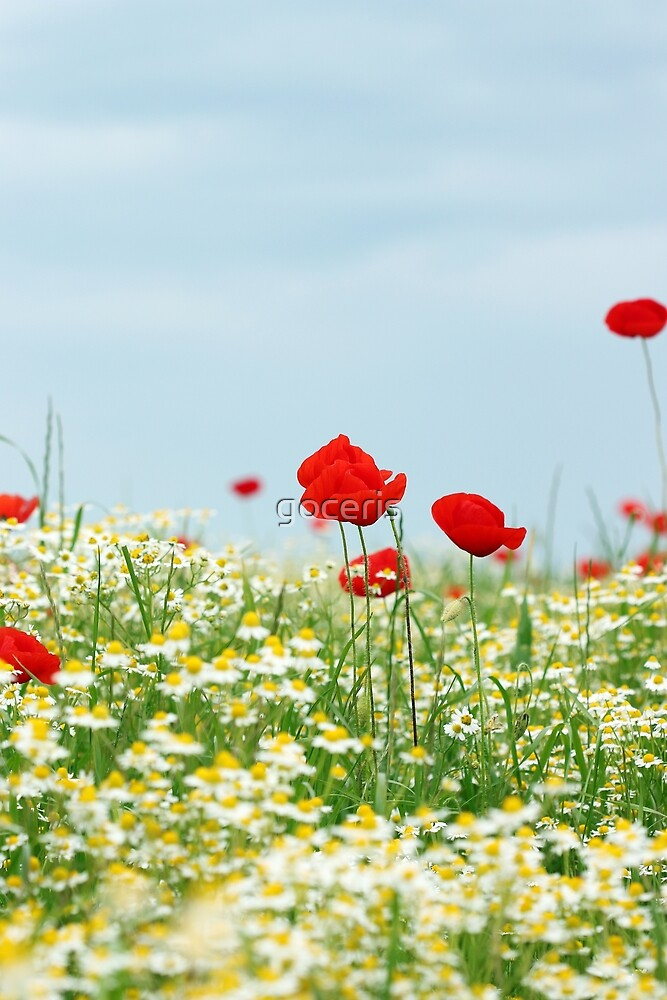 meadow with poppy and chamomile wild flowers by goceris