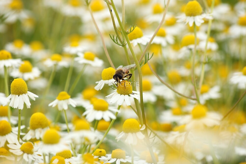 bee on chamomile flower spring season nature background by goceris