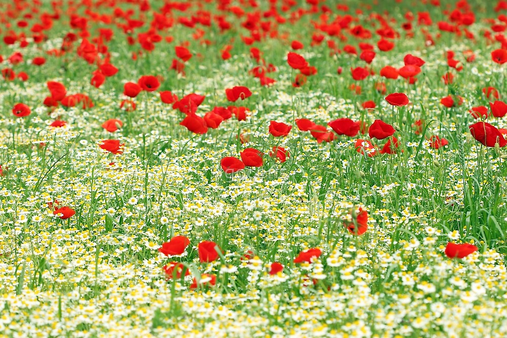 chamomile and red poppy flower nature background by goceris
