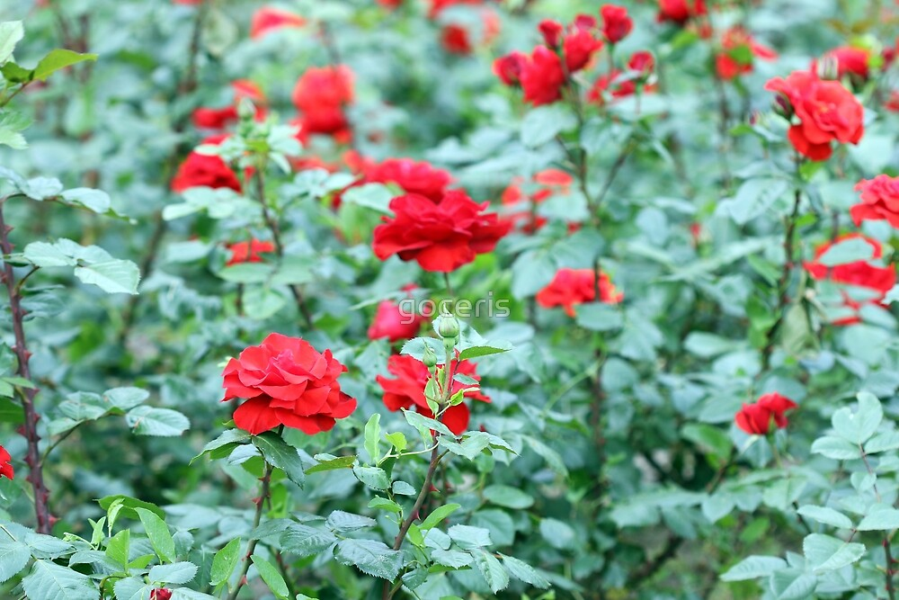 red roses garden nature background by goceris