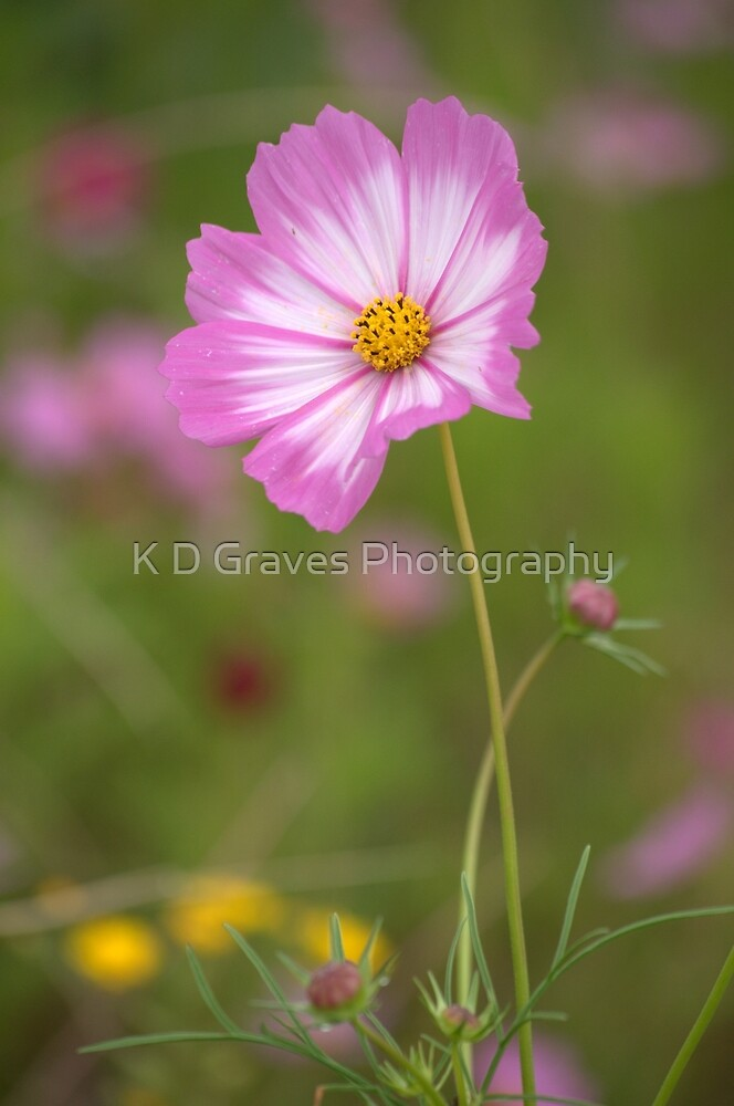 Pink and White Cosmos  by K D Graves Photography