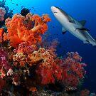 Shark and reef by Carlos Villoch
