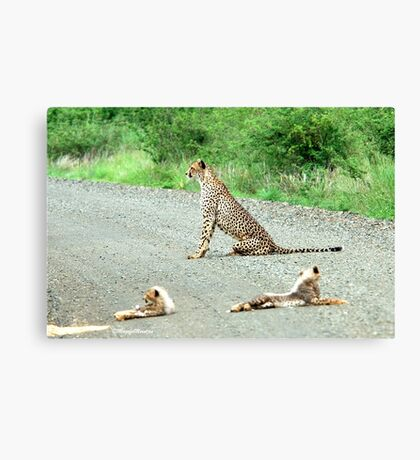 AROUND THE CORNER - THE CHEETAH MOTHER AND CUBS -  Acinonyx jabatus – Die Jagluiperd Canvas Print