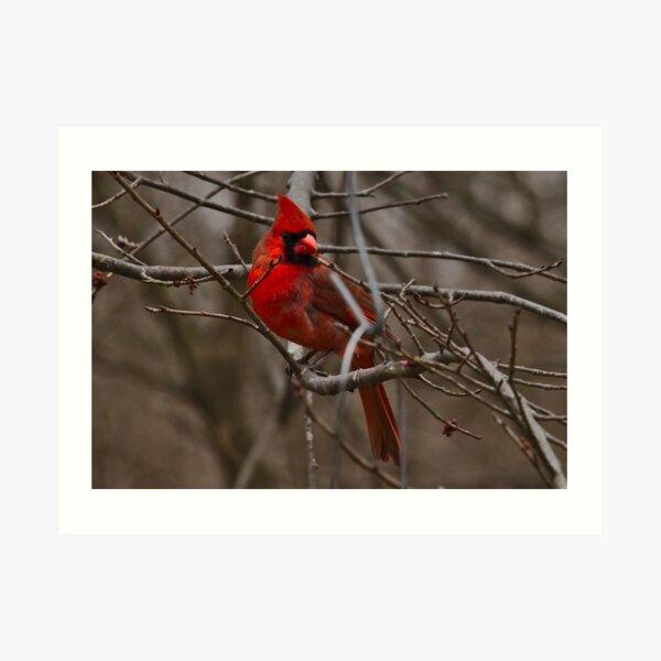 Cardinal in spring Art Print