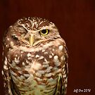 Burrowing Owl (Speotyto,cunicularia) by Jeff Ore