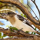 Young Butcher Bird with Catch by Chris  Randall
