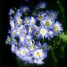 Sapphire Blue Daises   by cjcphotography