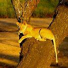 Tree-Climbing Lioness by Nancy Barrett