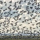 Barnacle Geese by THHoang
