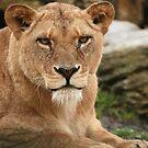 African Lioness by Franco De Luca Calce