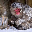 snow monkey during the winter,japan by milena boeva