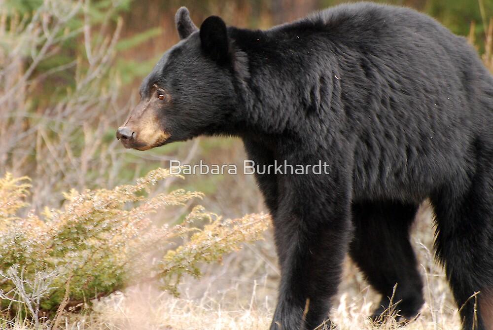 Black Bear - In The Wild by Barbara Burkhardt