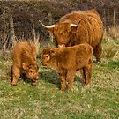 Highland Cow Family by M S Photography/Art