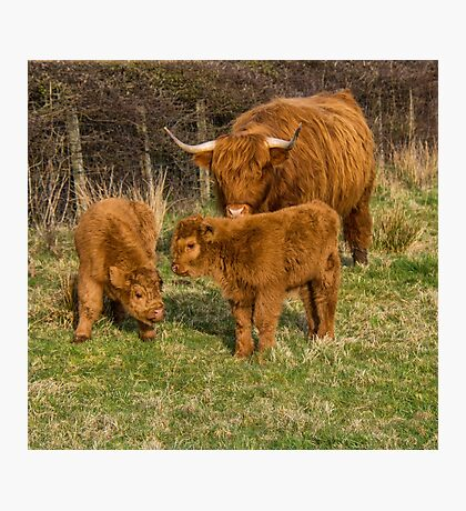 Highland Cow Family Photographic Print
