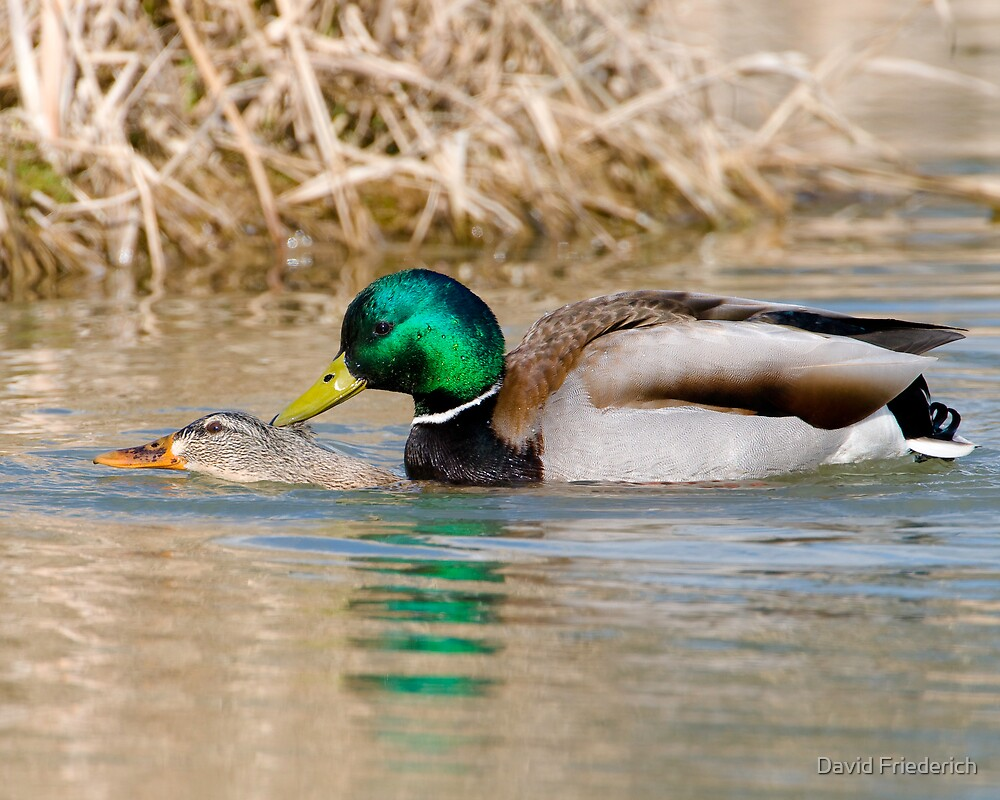 Mallard Ducks Mating by David Friederich