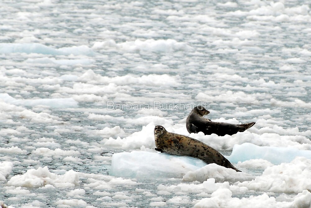 Seals - Resting on Ice by Barbara Burkhardt