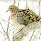 Mourning Dove  by lorilee