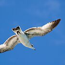 Gull in Flight by Donna Adamski
