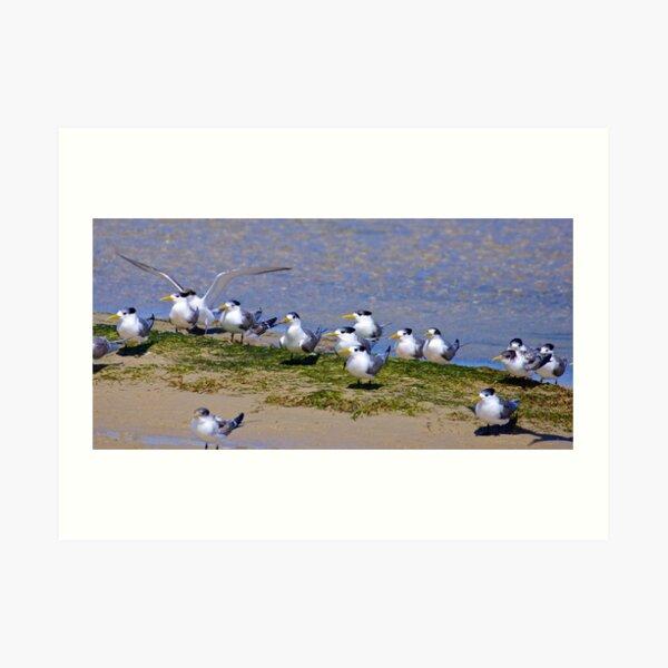 SHOREBIRD ~ Crested Tern by David Irwin Art Print