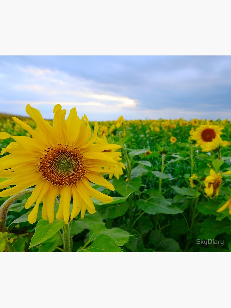 Sunflowers under a blue sky by SkyDiary