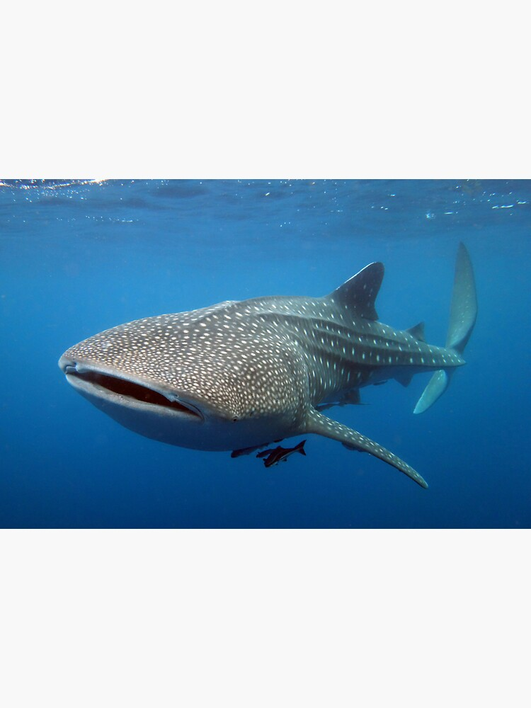 Whale shark by neoniphon