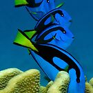 Layers of Tangs by Reef Ecoimages